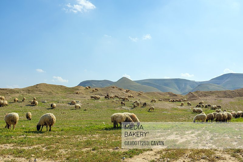 Bedouin sheep graze near al 'Auja, Jericho, West Bank, Palestine