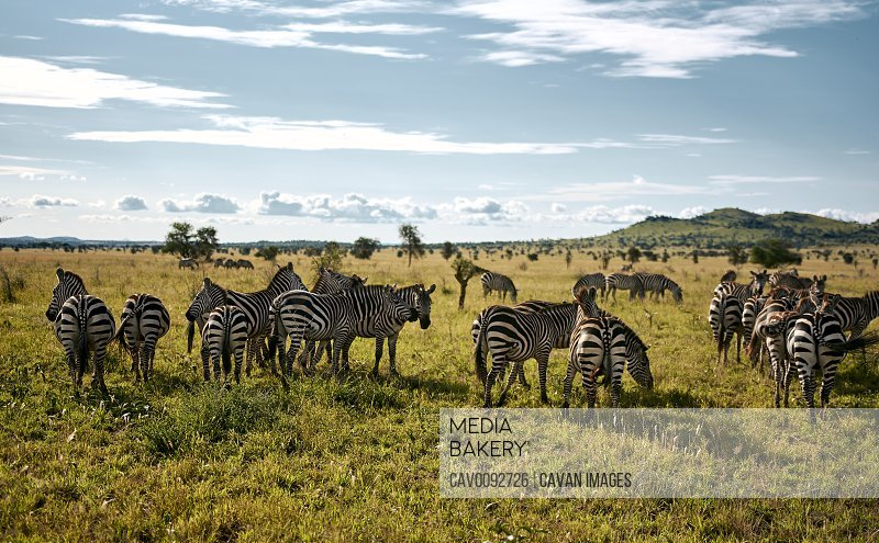 Herd of Zebras on a sunny day in the Serengeti