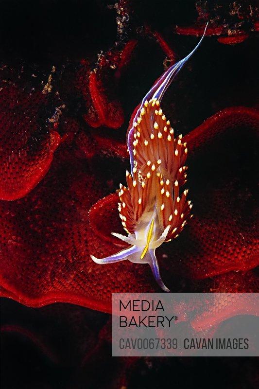 A Hermissenda Nudibranch (Hermissenda crassicornis) on a bryzoan.