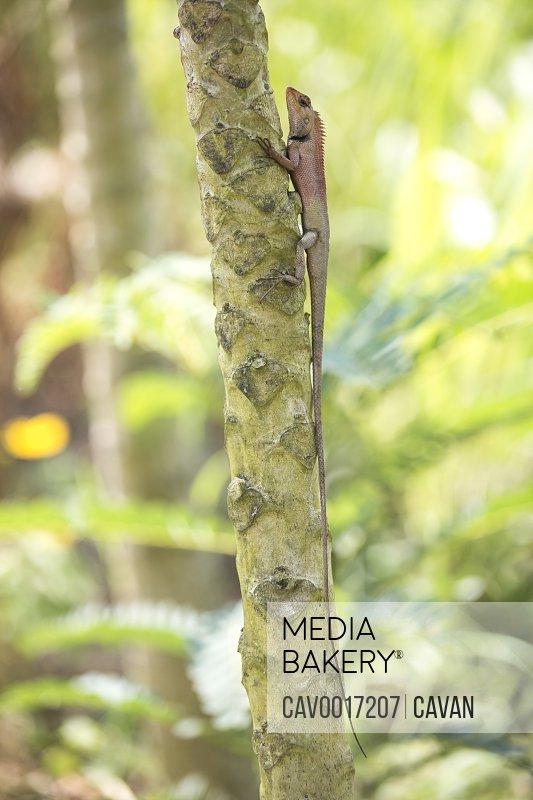 An oriental garden lizard clings to a tree in Vietnam.