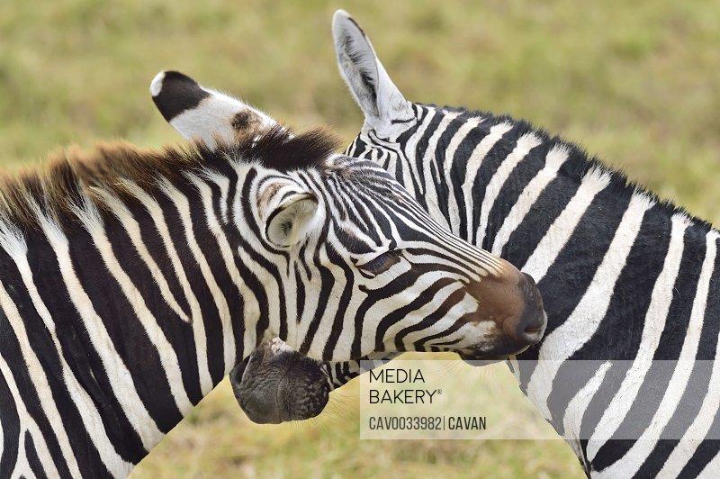 Zebras scratch each other