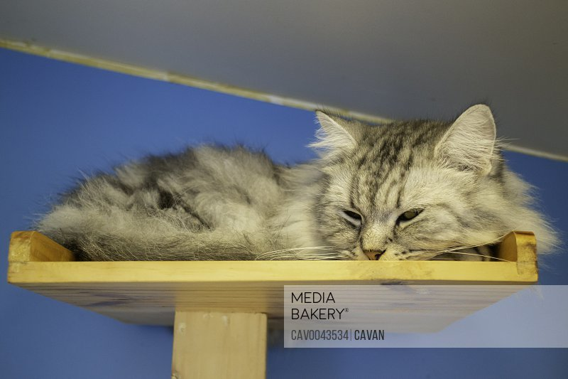 Domestic cat chilled in coffee shop
