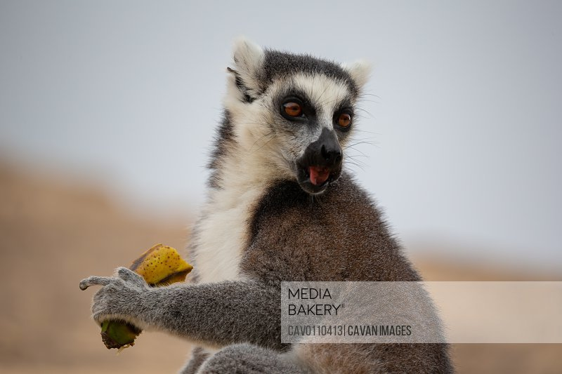 A ring-tailed lemur with a banana in close-up