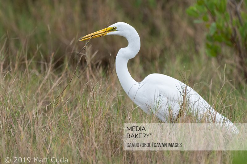 Great Egret with Stick and Fish