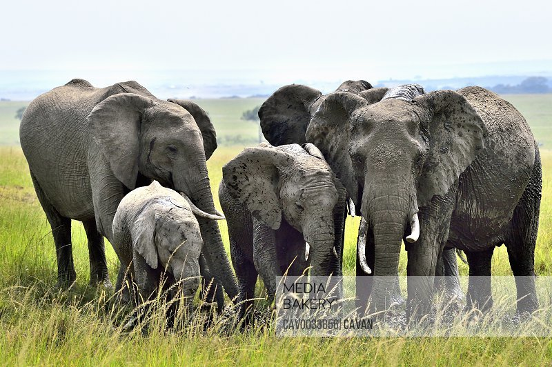 A group of elephants plays in a watering hole on the savannah
