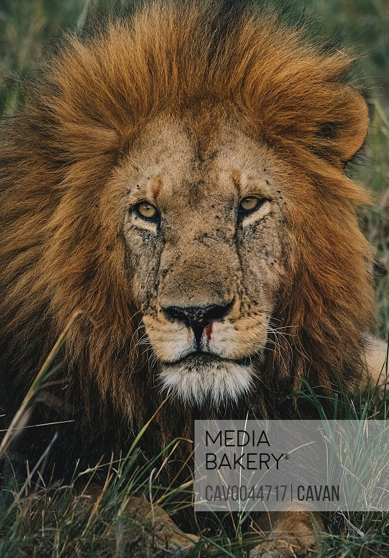 A Bleeding Lion in Kenya<br><br><span style='color: red'>Editorial Use Only.</span><br><br>