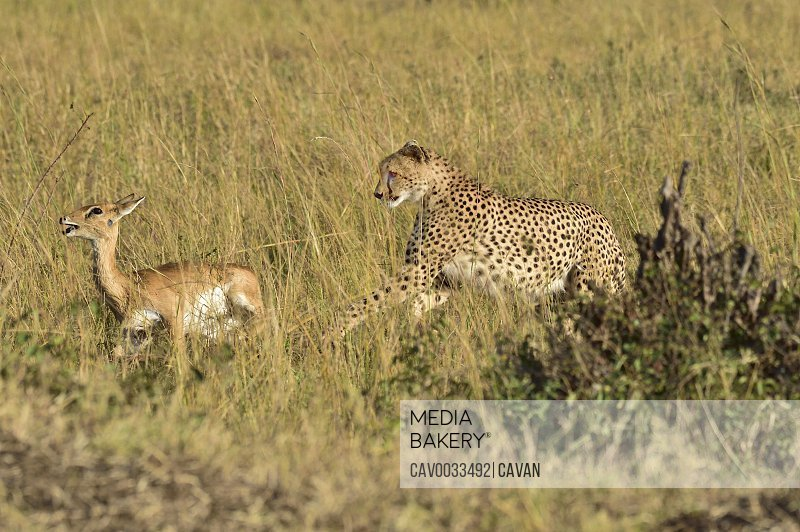 A cheetah chases down it's prey