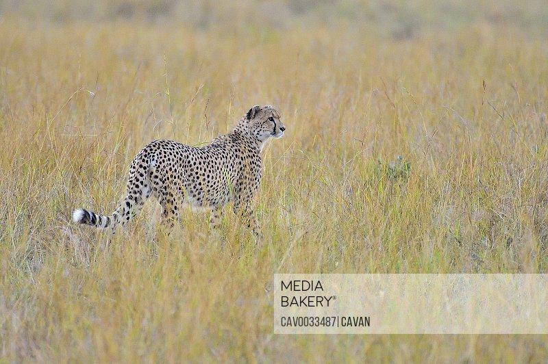 A cheetah walks the savannah looking for its prey
