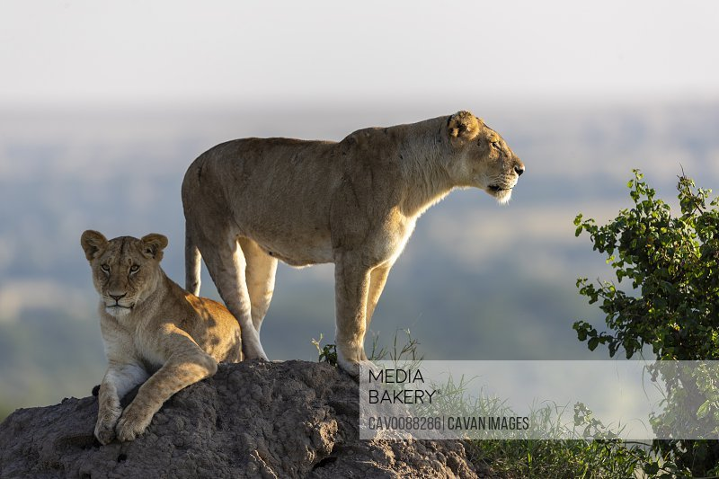 a lioness and her cub scans the surroundings from a mound of earth