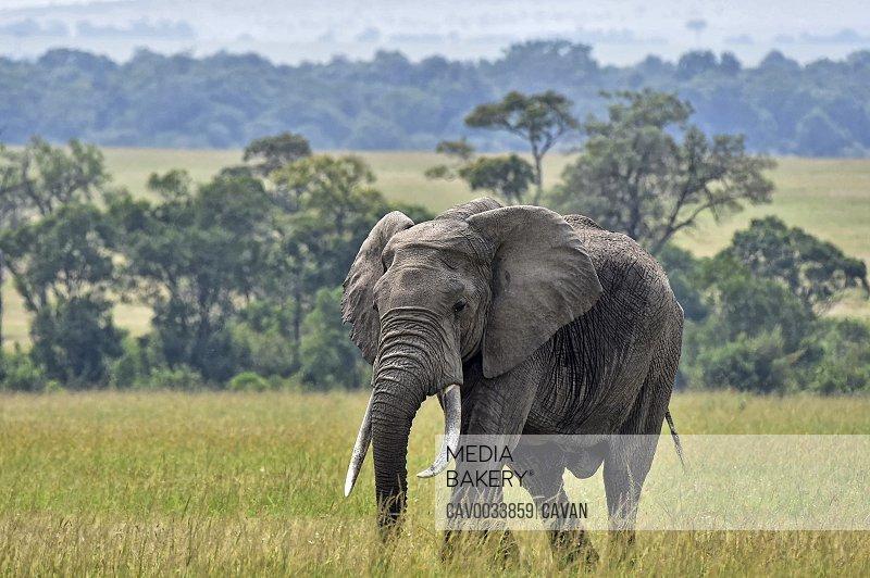 A large elephant walks across the savannah
