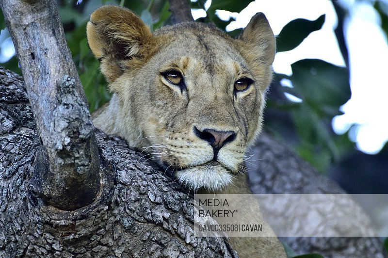 A young lion rests in a tree