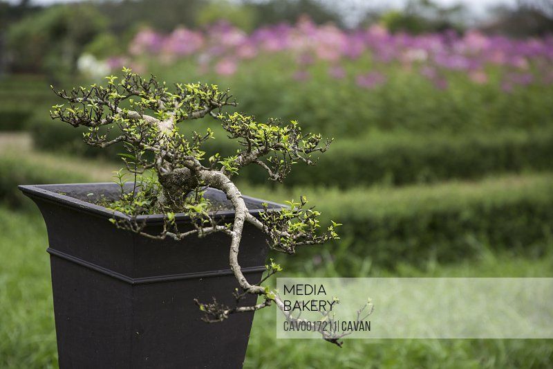 Close up of bonsai tree with purple flowers in background.