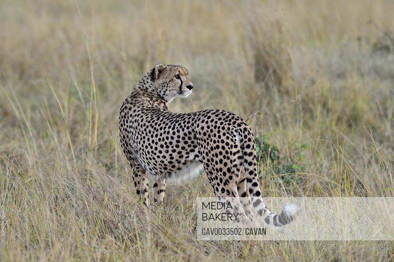A beautiful cheetah walks the savannah