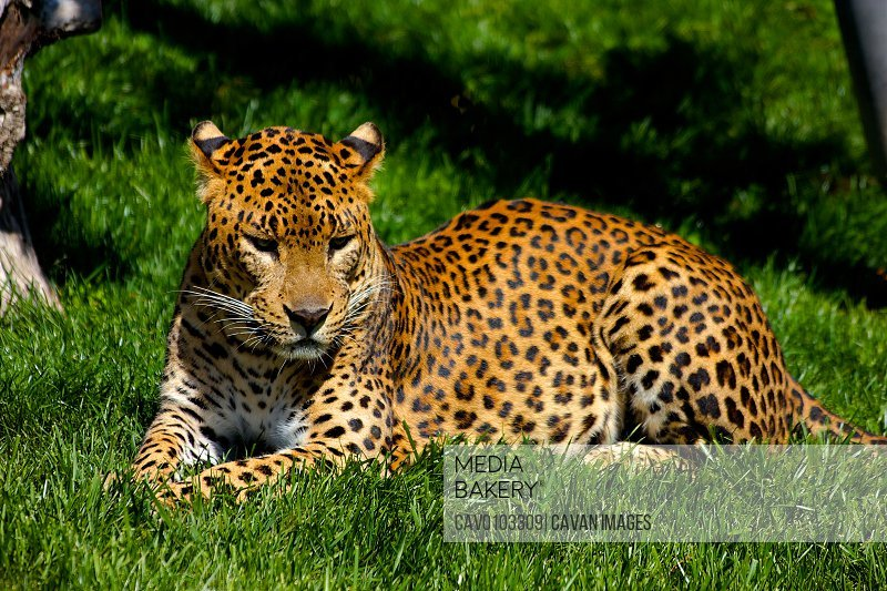 leopard resting on the grass<br><br><span style='color: red'>Editorial Use Only.</span><br><br>