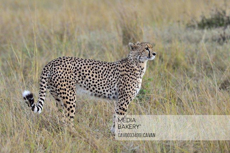 A cheetah walks the savannah