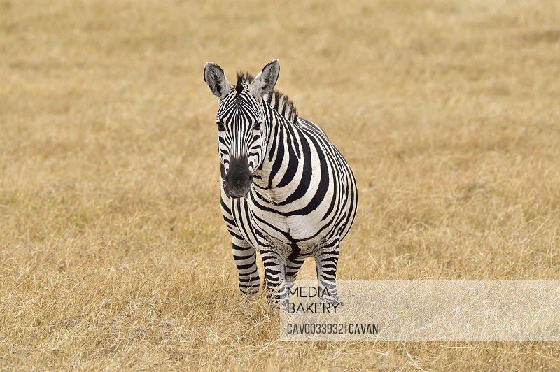 A zebra eats grass on the savannah