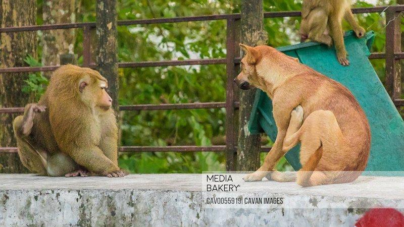 The Macaque Monkeys of Monkey Hill, Phuket.