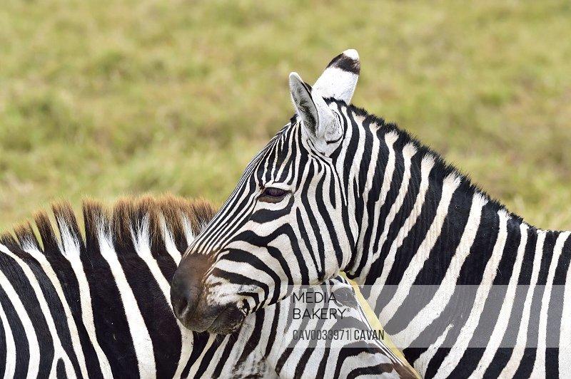 Beautiful zebra patterns