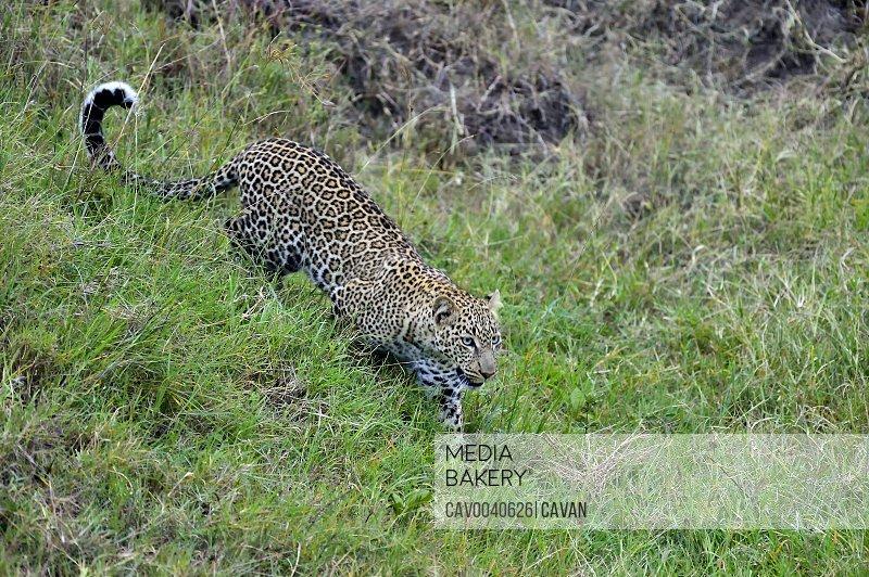 A leopard hunts its prey on the savannah