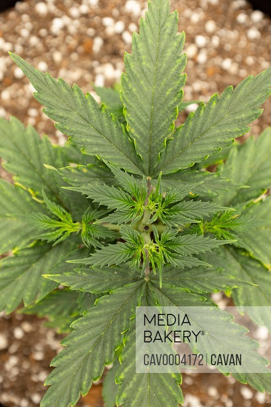 Overhead look at homegrown cannabis plant.