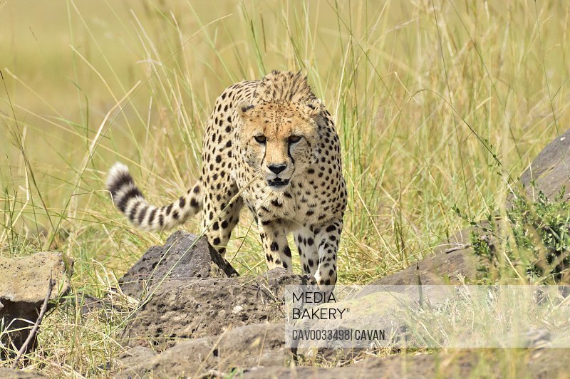 A beautiful cheetah stalks its prey