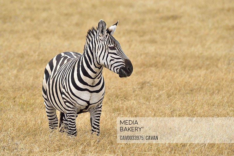 Beautiful zebra on the savannah
