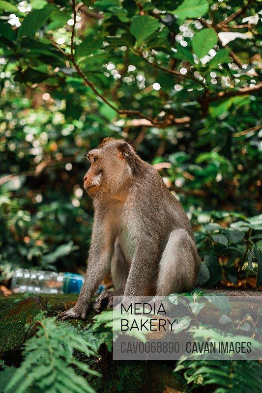 Balinese long tailed monkey sitting