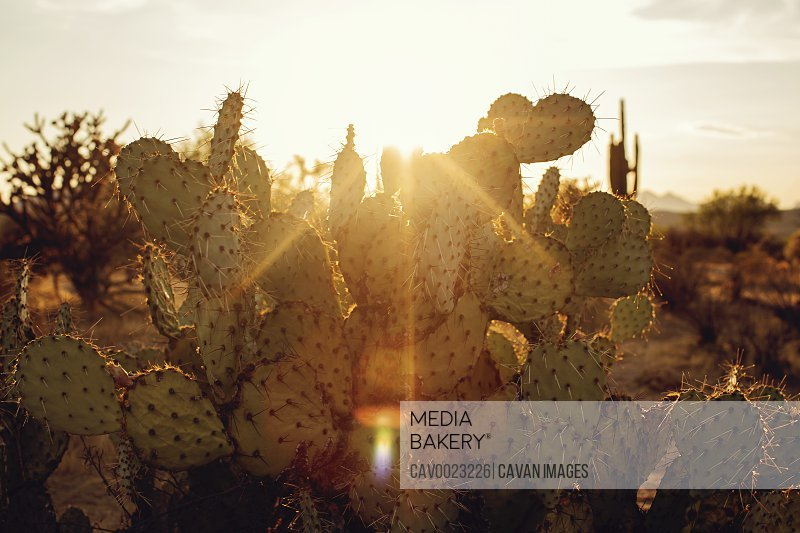 Prickly Pear Cactus in the sunset