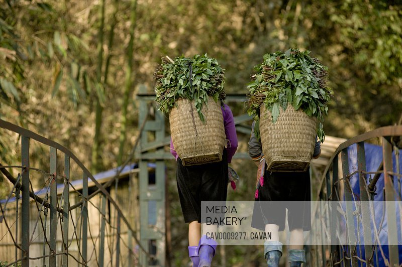 Hmong tribe women carrying plants in hay baskets <br><br><span style='color: red'>Editorial Use Only.</span><br><br>
