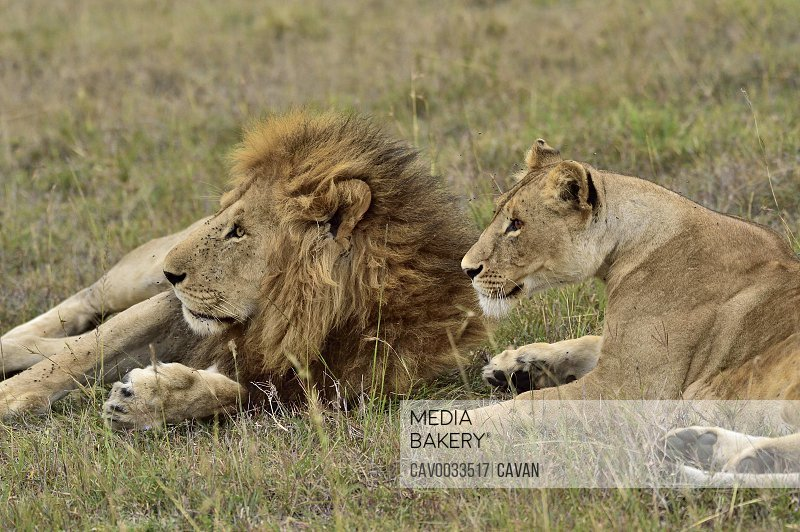 A male & female lion rest on the savannah