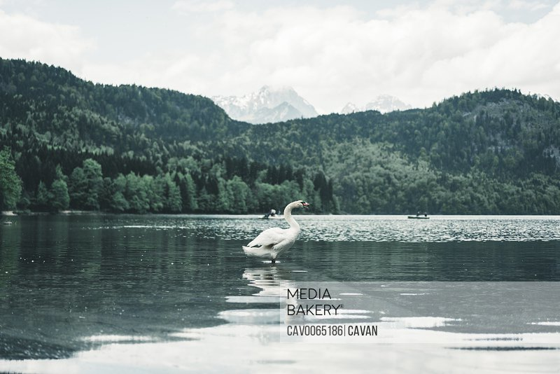 Centered shot of swan standing in alpine lake in front of mountains