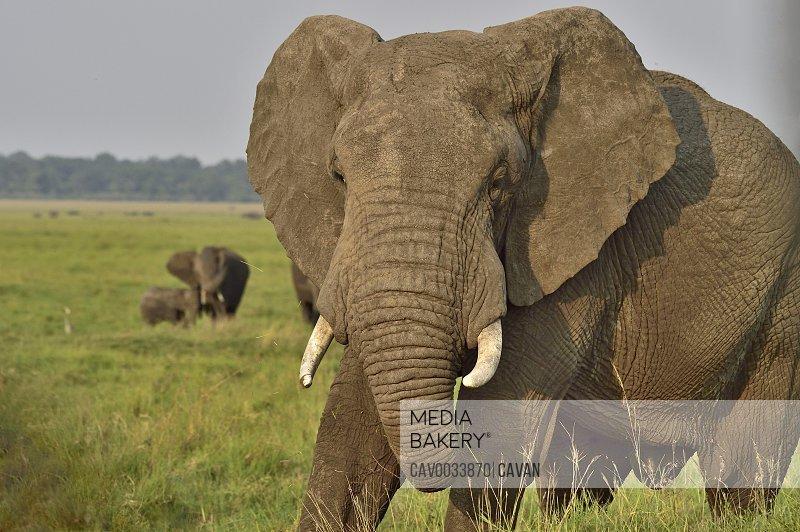 Large african elephant on the savannah