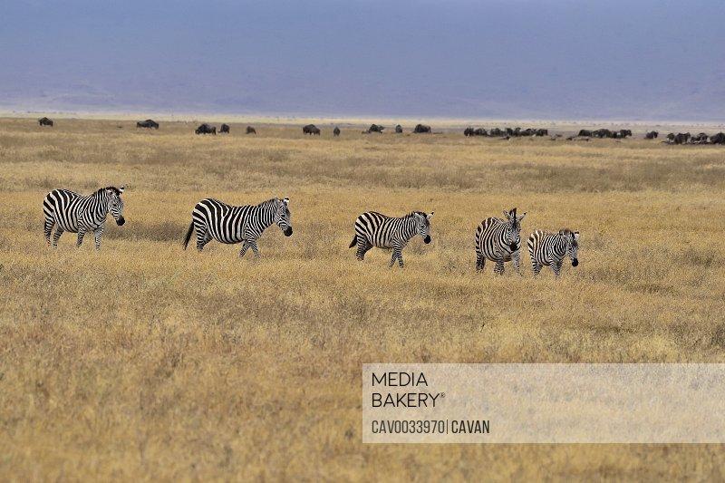 Zebras at Lake Manyara
