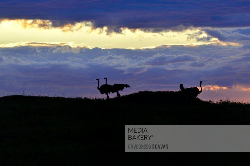 Ostrich at sunrise