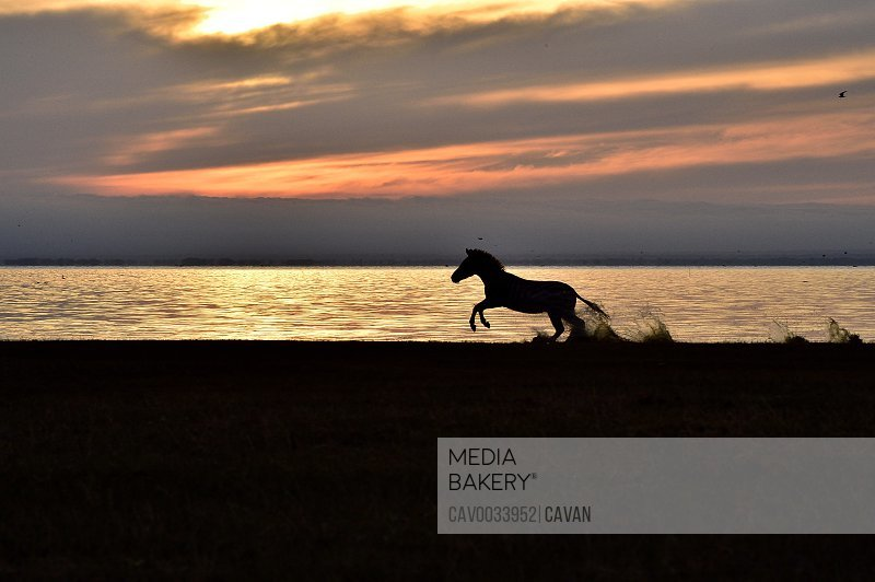 A zebra on Lake Manyara at sunrise