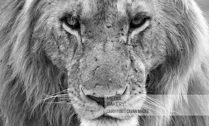 The face of a big lion in closeup