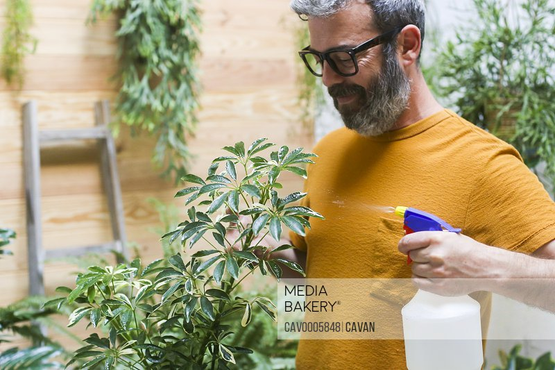 Man spraying green plant (Schefflera Umbrella Dwarf Plant)