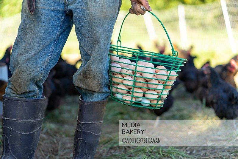 Farmer is holding free range organic chicken eggs bucket