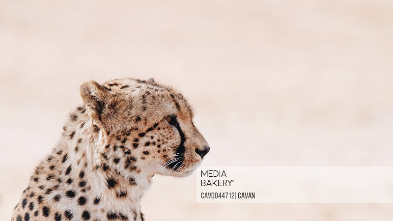 Intense Cheetah Stare in Kenya<br><br><span style='color: red'>Editorial Use Only.</span><br><br>
