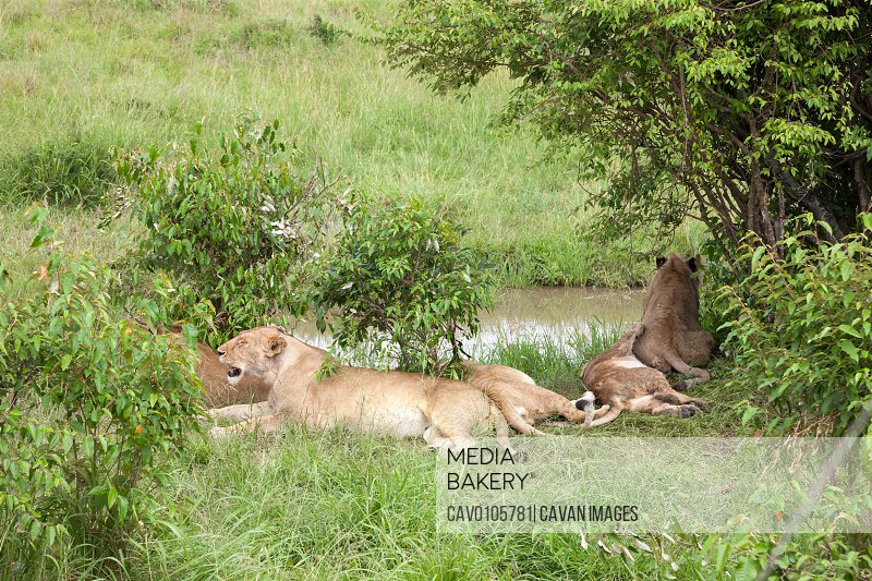 A lion family rests on a hill