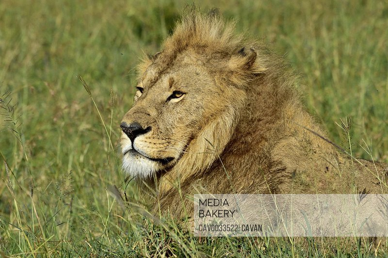 A stoic male lion watches over the savannah