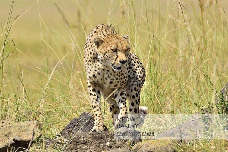 A cheetah roams the savannah