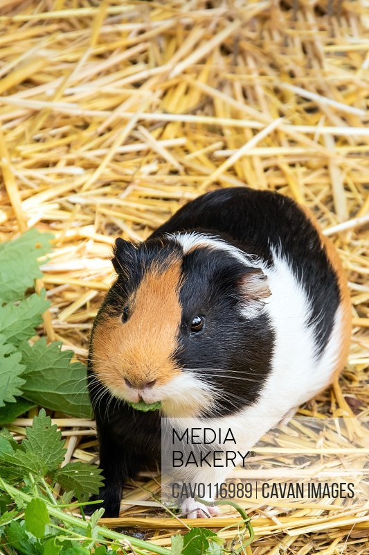 Guinea pig looking at camera. Adorable fur pet eating nettle fol