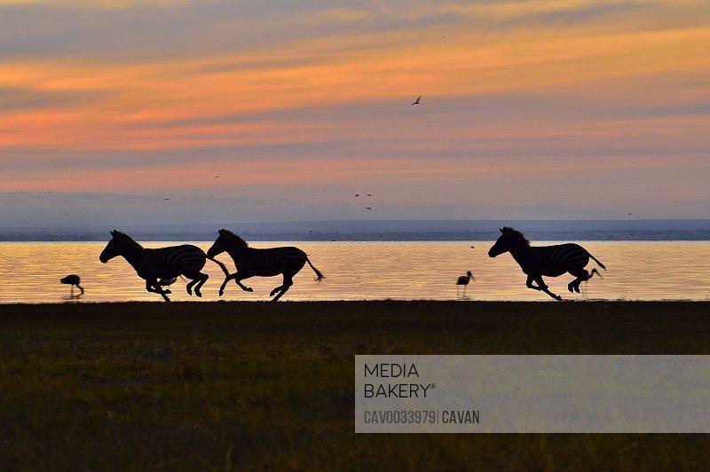 Zebras at sunrise at Lake Manyara
