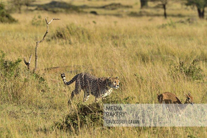 A cheetah chases its prey