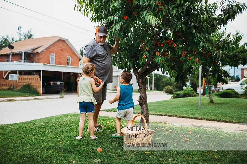 Grandfather handing fresh picked peaches off of tree to granddaughter