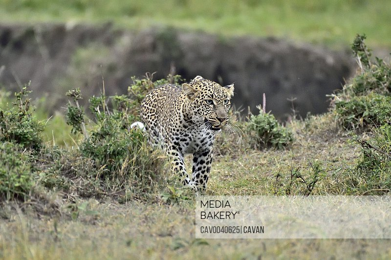 A leopard on a hunt