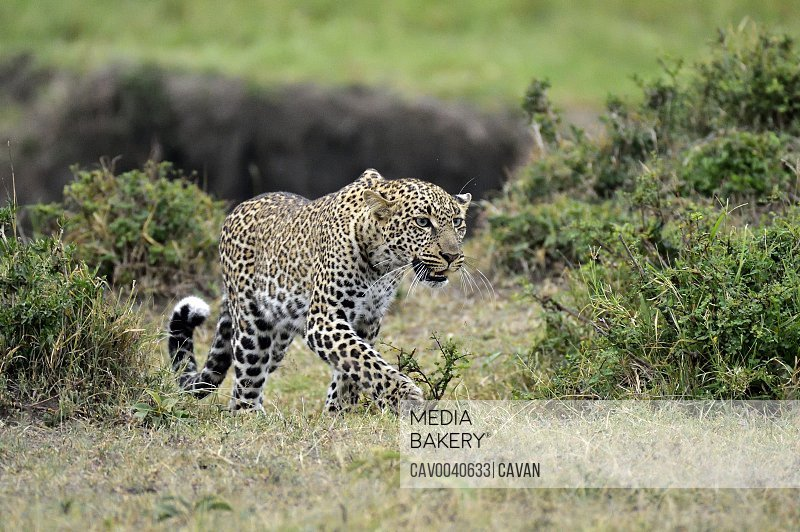 A leopard hunts its prey