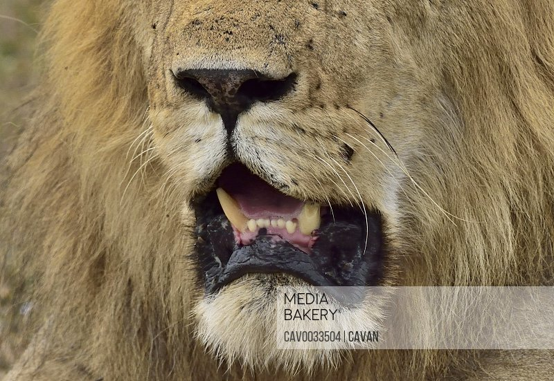Close up of a male lions mouth
