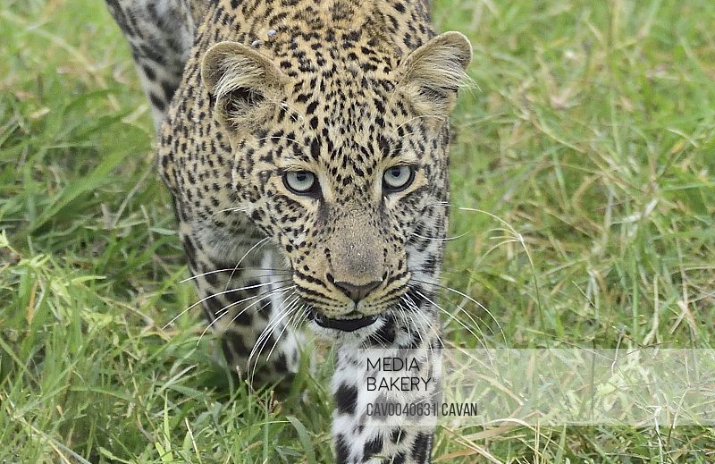 Beautiful leopard close up